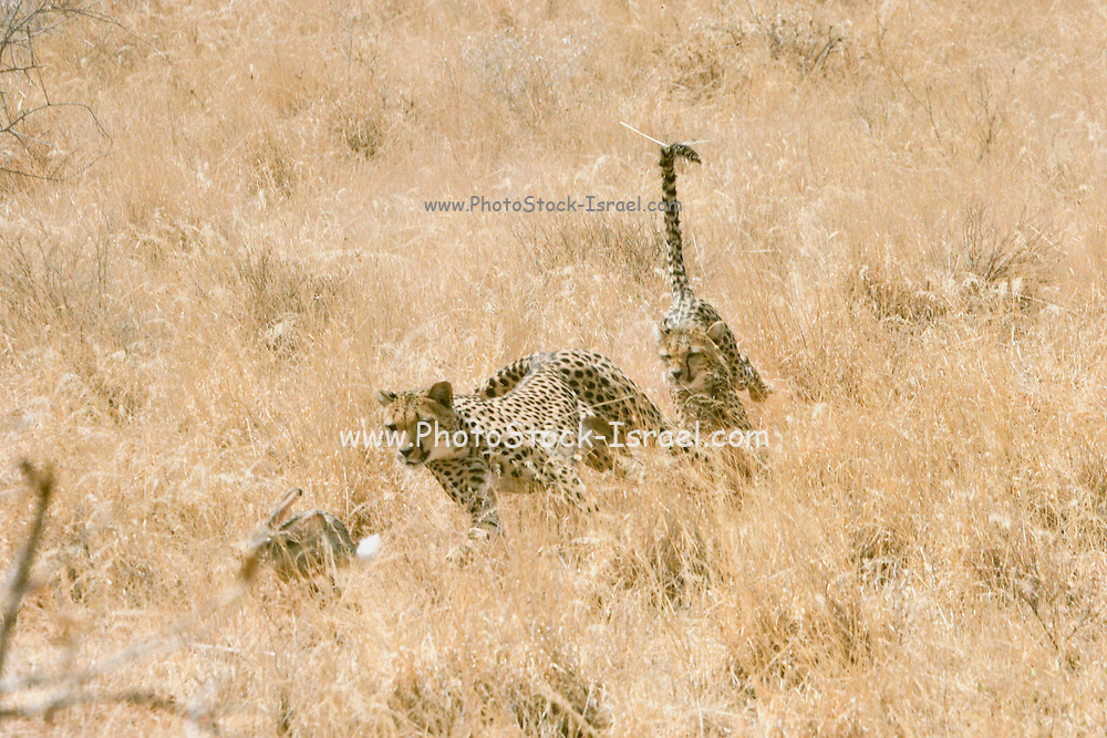Africa, Kenya, Samburu National Reserve, two Cheetahs (Acinonyx jubatus) hunting a hare