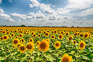 Sunflowers as far as the eye can see
