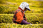 Green tea plantation in Bosung, South Korea. The plant makes not only the ubiquitous Asian tea, but is also used in the production of many products ranging from shampoo to ice cream.