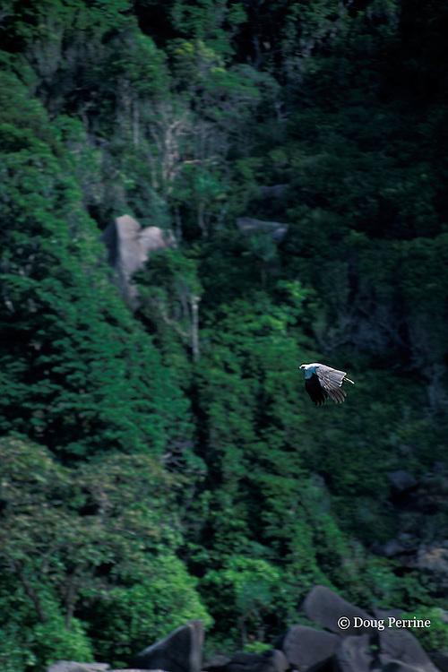 white-bellied sea eagle, Haliaeetus leucogaster, Similan Islands, Thailand ( Andaman Sea, Indian Ocean )