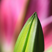 &quot;Budding Lily&quot;<br />
