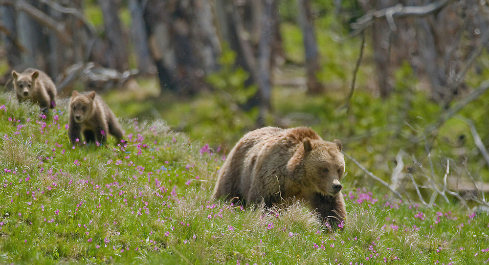 Atop Dunraven Pass in Yellowstone Park, a mother grizzly leads her two cubs through a meadow filled with shooting stars and alpine forget-me-nots. Although born in the same litter, these cubs may be only half-siblings since the female grizzly can mate with several different males during breeding season, producing cubs with different fathers.