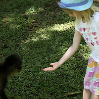 Central America, Latin America, Costa Rica, Golfo Dulce, Cana Blanca Wildlife Sanctuary.  A young girl offers a healthy treat to an orphaned Spider Monkey.