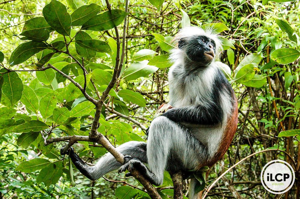 "Tanzania:  Zanzibar, Jozani National Park,  Zanzibar red colobus, adult, perched in Tropical almond tree (""terminalia catappa""). Also called Kirk's red colobus (""Procolobus kirki"", aka ""Piliocolobus kirkii"") (in Kiswahili called ""Poison monkey"" - ""kima punju""), on IUCN Red List of Threatened Species and Appendix II of CITES per March '07"
