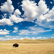 Wind Cave National Park, South Dakota.  Before Euro American settlement, an estimated 30-60 million bison roamed the Great Plains. Their grazing pressure was a force that shaped the ecology of the Great Plains as strongly as prairie fires in the evolution of this prairie landscape. Between the 1860s and 1900, bison were all but eliminated from this vast land of grass and sky. Today, only small managed herds exist on the prairies, but dreams of free roaming herds of bison on large scale preserves rumble on the horizon.