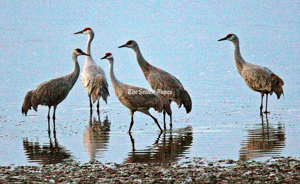 Sandhill cranes stop near Othello, Adams County, every year on their way from California to breeding grounds in Alaska.<br /> (Mark Harrison / The Seattle Times)