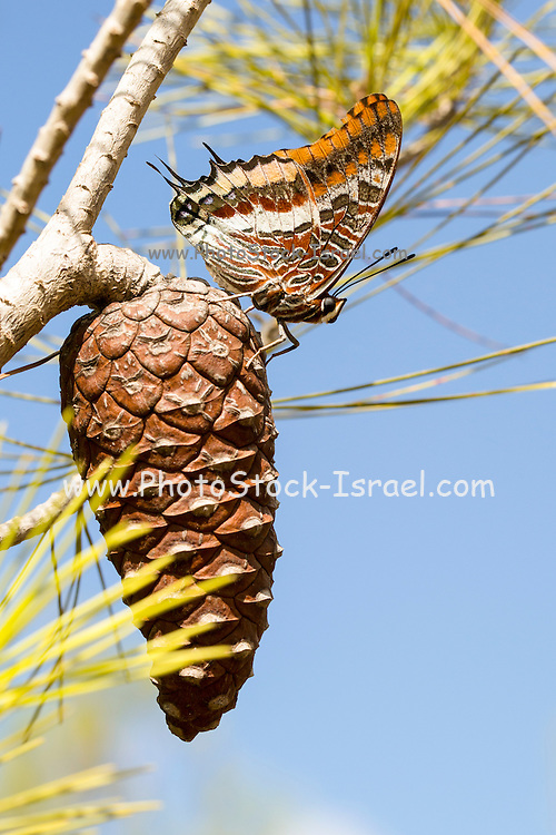 Charaxes jasius, the Two-tailed Pasha or Foxy Emperor, is a butterfly in the family Nymphalidae. It is the only European species of the genus Charaxes. Photographed in Israel in September