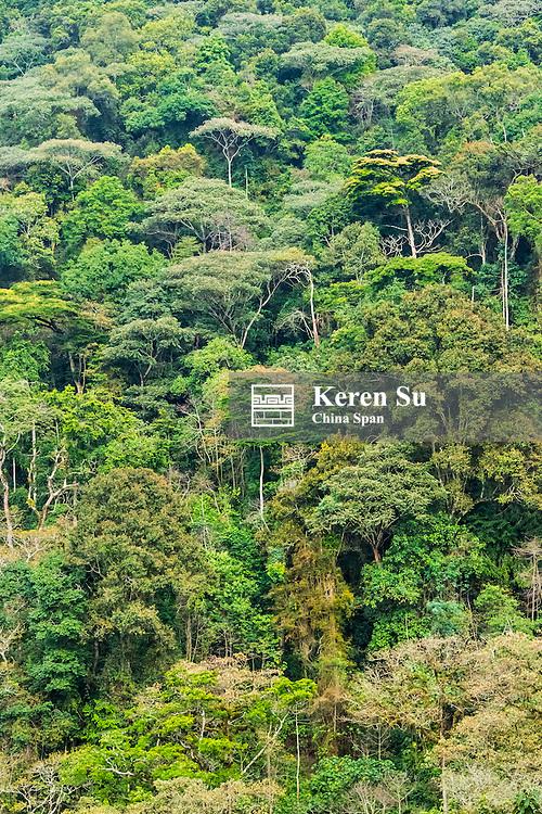 Forest, home of gorillas, Bwindi Impenetrable National Park, Uganda