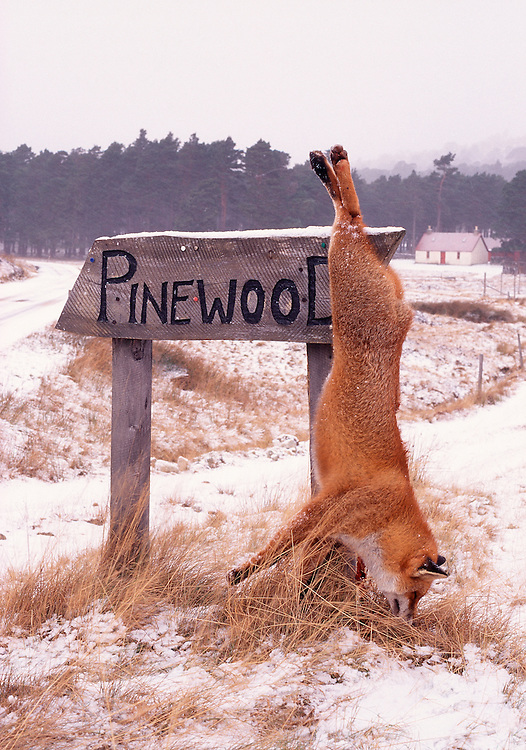 Dead red fox hanging from a sign