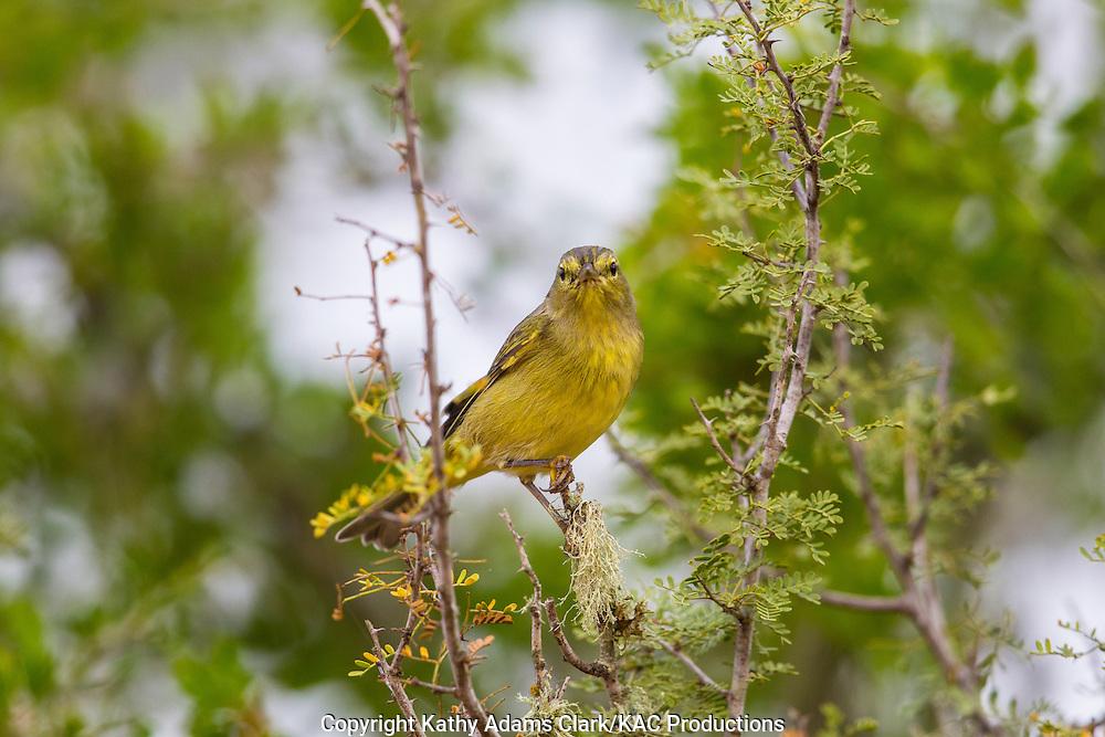 Orange-crowned warbler, Oreothlypis celata, San Jose Ranch, near Laredo, Texas.