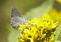 A Eastern tailed-blue butterfly sat on a yellow wingstem flower during a butterfly identification hike at Raven Run Nature Sanctuary in Lexington, Ky. on Sunday, September 9, 12. About 30 participants heard a brief lecture by naturalist Brian Perry before taking a short hike through the meadow to spot and identify butterflies and moths. Photo by David Stephenson