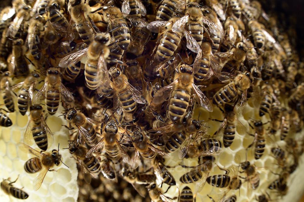 Honey bee (Apis mellifera), Kiel, Germany   Die Honigbienen (Apis mellifera) sitzen auf einem Naturwabenbau. Was bedeutet, sie haben die Wabe frei gebaut ohne beeinflussung des Imkers.  Kiel, Deutschland
