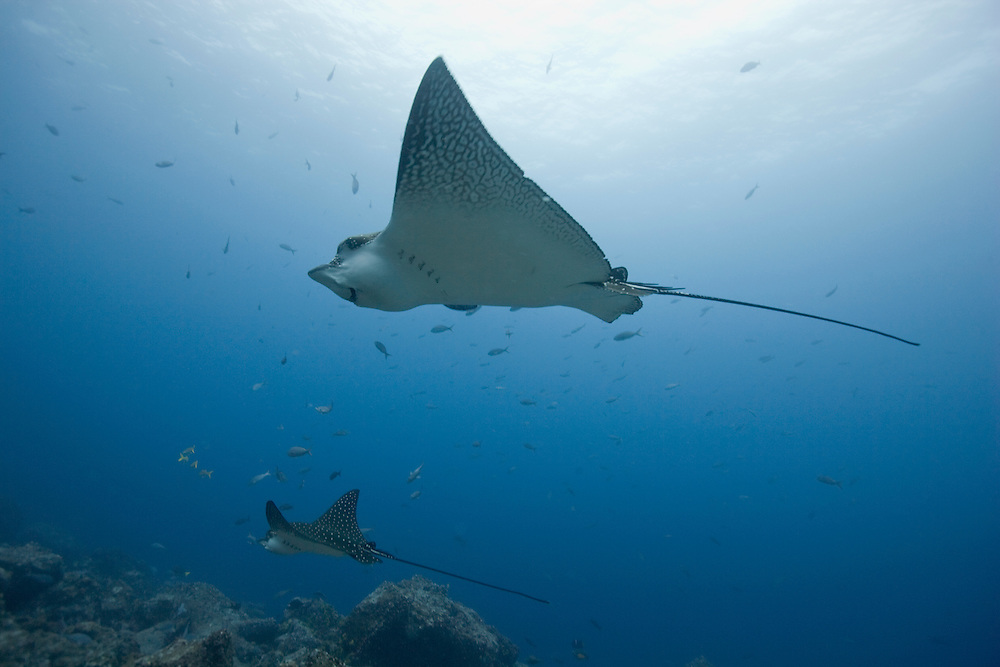 Ecuador, Galapagos Islands National Park,  Wolf Island, Underwater view of Spotted Eagle Rays (Aetobatus narinari) swimming