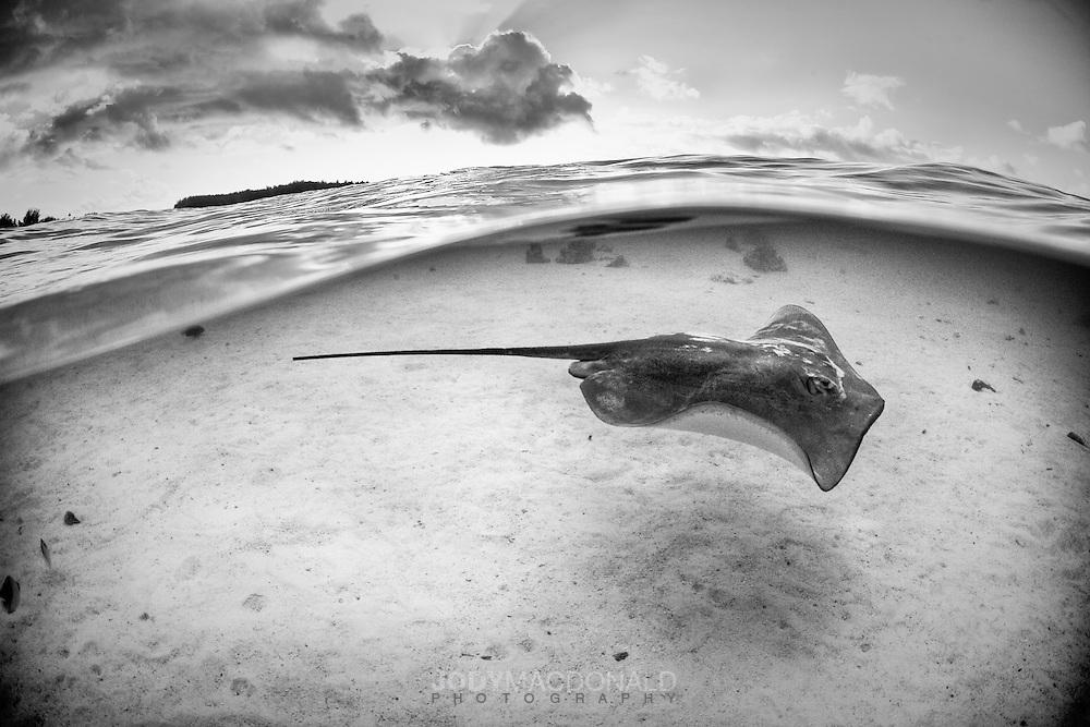Stingray passes over white sand in crystal clear shallow water off the island of Moorea, South Pacific.  Under/over shot highlights the depth of the sky above.