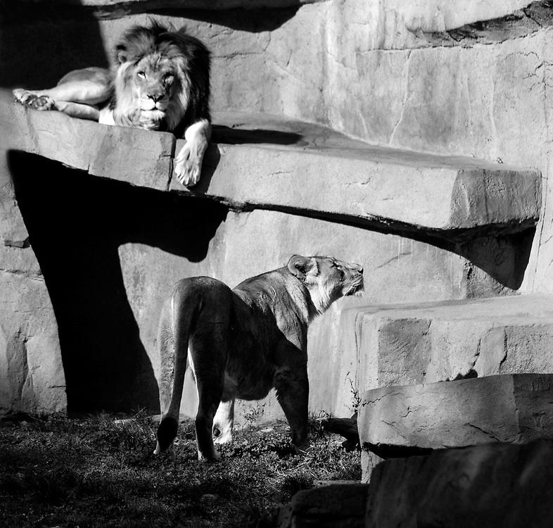 Soul Survival: African Lion (Scientific name: Panthera leo)<br /> Vulnerable/Species Survival Plan