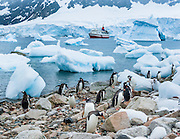 """Gentoo Penguins rest amid icebergs beached on the continent of Antarctica at Neko Harbor. We cruised here on the red and white ship M/S Explorer in February 2005 and made a wet landing using Zodiac boats. Glaciers calve icebergs into the Southern Ocean from Graham Land, the north portion of the Antarctic Peninsula, in Antarctica. An adult Gentoo Penguin (Pygoscelis papua) has a bright orange-red bill and a wide white stripe extending across the top of its head. Chicks have grey backs with white fronts. Of all penguins, Gentoos have the most prominent tail, which sweeps from side to side as they waddle on land, hence the scientific name Pygoscelis, """"rump-tailed."""" As the the third largest species of penguin, adult Gentoos reach 51 to 90 cm (20-36 in) high. They are the fastest underwater swimming penguin, reaching speeds of 36 km per hour."""