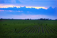 Ominous storm clouds build over the Illinois plains. A fresh green soybean field is in the foreground.