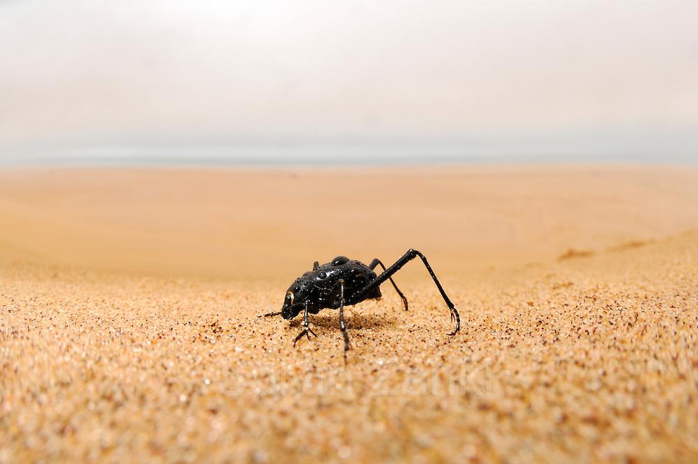 Der an manchen Tagen vom Meer her weit landeinwärts ziehende Seenebel ist für die Wüstenbewohner der Namib eine lebenswichtige Wasserquelle. Basierend auf den extrem seltenen und nur sehr lokalen Regenfällen ist ein Überleben kaum möglich, daher betätigen sich Pflanzen und Tiere in dieser heißen Region als Nebelfänger. Einer davon ist der Nebeltrinker-Käfer (Onymacris unguicularis), der gemeinsam mit etwa zweihundert verschiedenen Arten von Schwarzkäfern die Dünen der Namib bewohnt. Für den Laien fast gar nicht von seinen Verwandten zu unterscheiden offenbart diese Käferart in nebelverhangenen Morgenstunden ihr spezialisiertes Verhalten: Am höchsten Grat eines Dünenkammes reckt der Käfer mit Hilfe seiner langen Hinterbeine den Hinterleib in die Höhe, so dass die daran kondensierenden Wassertröpfchen am Körper entlang zur Mundöffnung rinnen.| Fog Basking Beetle or Darkling Beetle (Onymacris unguicularis), drinking, Namib Desert, Namibia