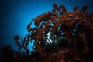 Sargassum johnsonii