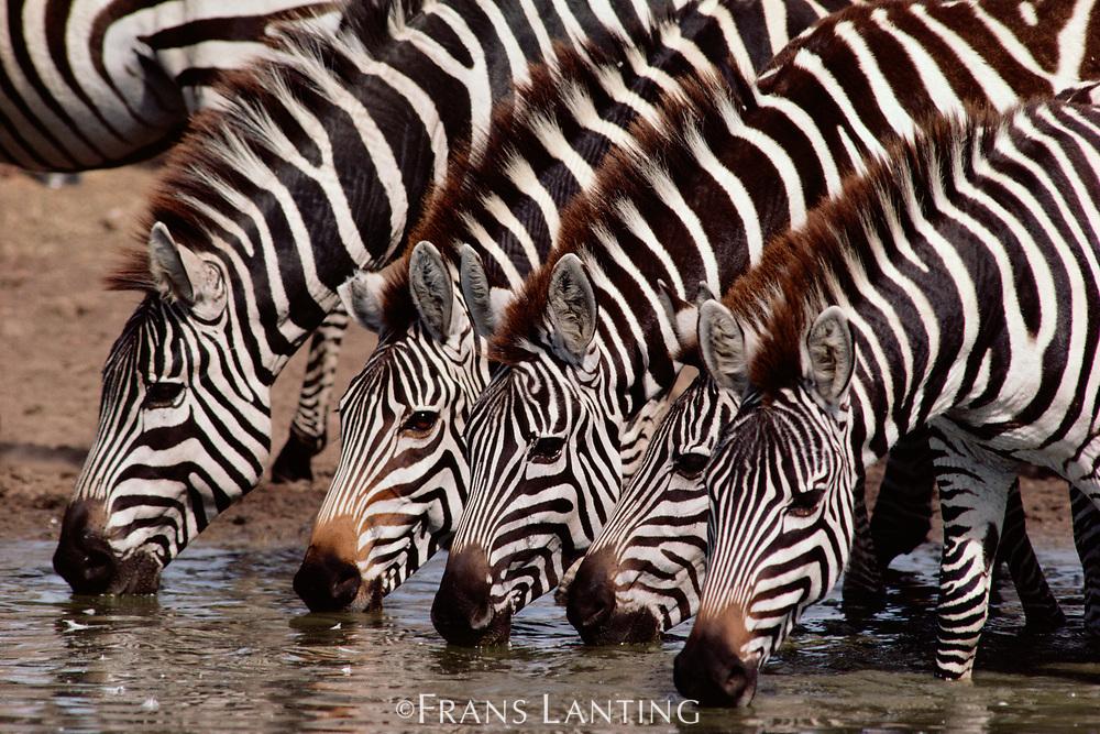 Zebras drinking, Equus quagga, Masai Mara Reserve, Kenya