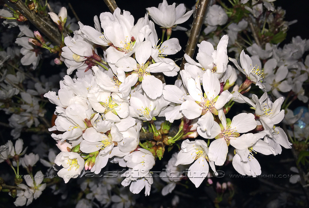 Beautiful close up cherry blossom in Brooklyn NYC at night.