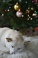 A dog waits patiently for Santa under the tree on Christmas morning.