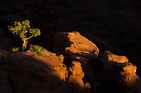 Lone juniper in beautiful light near Fisher Tower, Utah