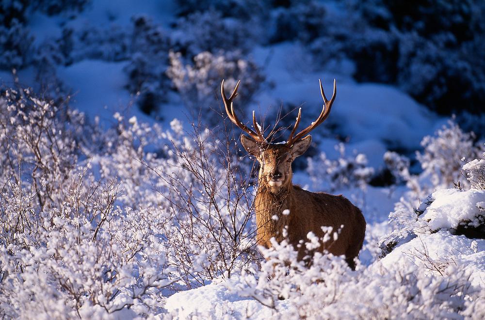 Red deer stag amongst birch regeneration, Scotland