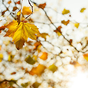 Autumn in Ireland, 2012: A golden yellow leaf floats in the warm Autumn Sun infront of a warm backdrop of beautiful light
