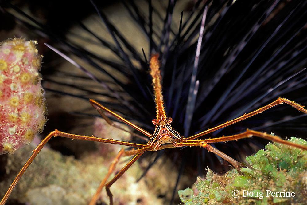 yellowline arrow crab, Stenorhynchus seticornis, St. Vincent or Saint Vincent, West Indies ( Eastern Caribbean Sea )