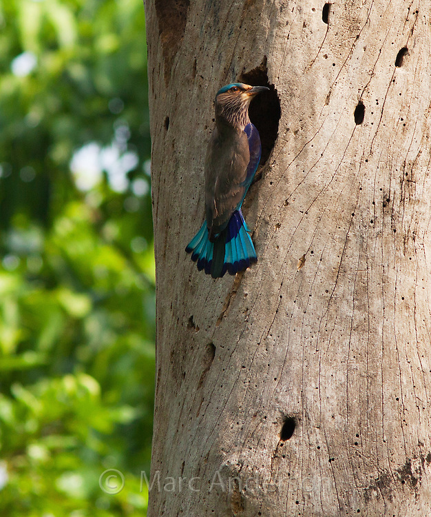 Indian Roller, Coracias benghalensis, at the entrance of its nest in a tree, Nepal