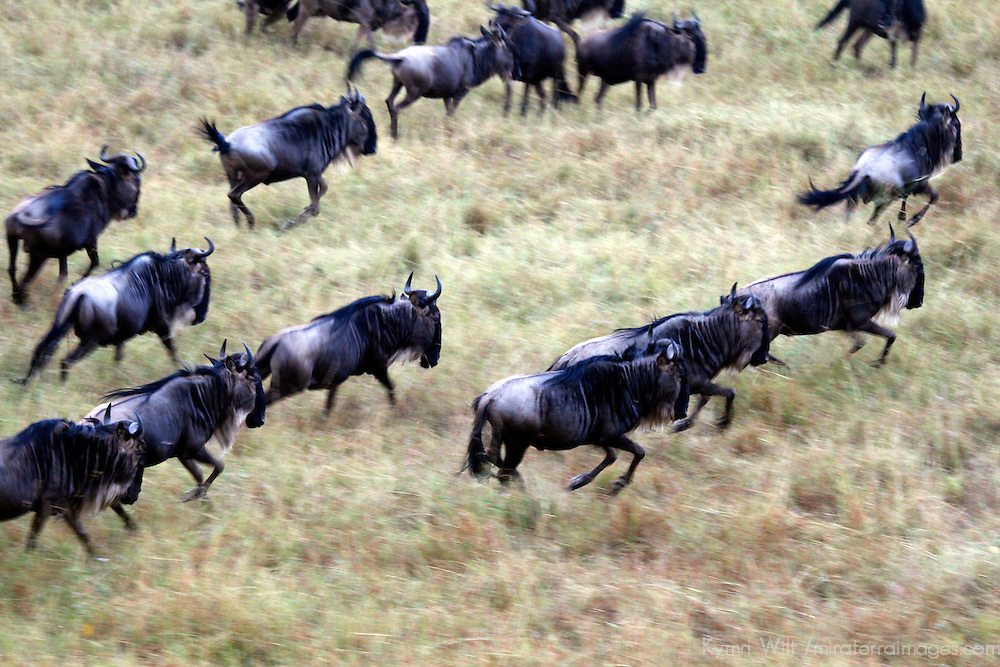 Africa, Kenya, Masai Mara. Wildebeest migration in the Maasai Mara.