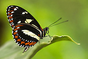 Athis longwing (Heliconius athis)<br /> Mindo<br /> Cloud Forest<br /> West slope of Andes<br /> ECUADOR.  South America<br /> HABITAT &amp; RANGE: