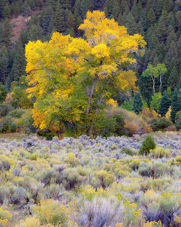 A cottonwood tree near the village of Amalia, New Mexico, transitions to its autumn palette.