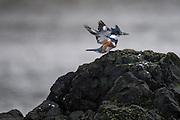 Wildlife photographs Birding Cape Disapointment, WA