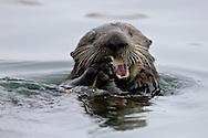 A California Sea Otter (Enhydra lutris) eats a clam - Moss Landing, California