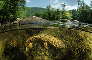 Eastern Hellbender (Cryptobranchus alleganiensis alleganiensis)<br /> <br /> Hiwassee River, Cherokee National Forest<br /> Tennessee<br /> USA<br /> HABITAT &amp; RANGE: Clear, fast-flowing streams and rivers of Susquehanna River drainage in southern New York and Pennsylvania, and large portions Missouri, Ohio, and Mississippi River drainages from western Pennsylvania, southern Ohio, extreme southern Indiana, most of West Virginia, Kentucky, and Tennessee, northern Alabama and Georgia, western North Carolina and Virginia.