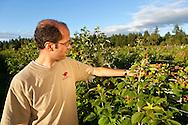 USA, Oregon, Corvallis, Oregon State University horticulture PhD student checks his raspberry research, MR