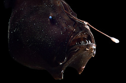 [captive] Bioluminescent Anglerfish or Triplewart Sea Devil (Cryptopsaras couesi), deep sea fish, Atlantic Ocean, close to Cape Verde   Tiefsee Anglerfisch (Cryptopsaras couesi) St 602-10<br />MOC-1-29<br />5<br />15.12.2015