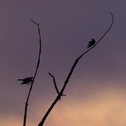 A projected flash causes the eyes of two American crows (Corvus brachyrhynchos) to glow. The birds on a bare tree are otherwise rendered in silhouette as the sky is colored by the sunset.