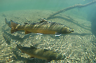 Bull Trout<br />