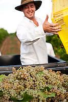 3rd generation Post family member harvesting grapes for wine at their vineyard in Altus, Arkansas.
