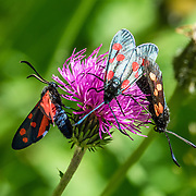 Six-spot Burnet moths (Zygaena filipendulae, a black insect with 6 red wing spots, in the Zygaenidae family) sip nectar from a Knapweed (Centaurea) flower.<br /> Hike the dramatic Sentier des Chamois from Verbier, in Switzerland, the Alps, Europe.