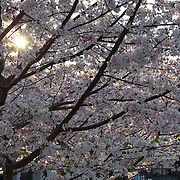 Late afternoon sun shines through a cherry tree loaded with blossoms.
