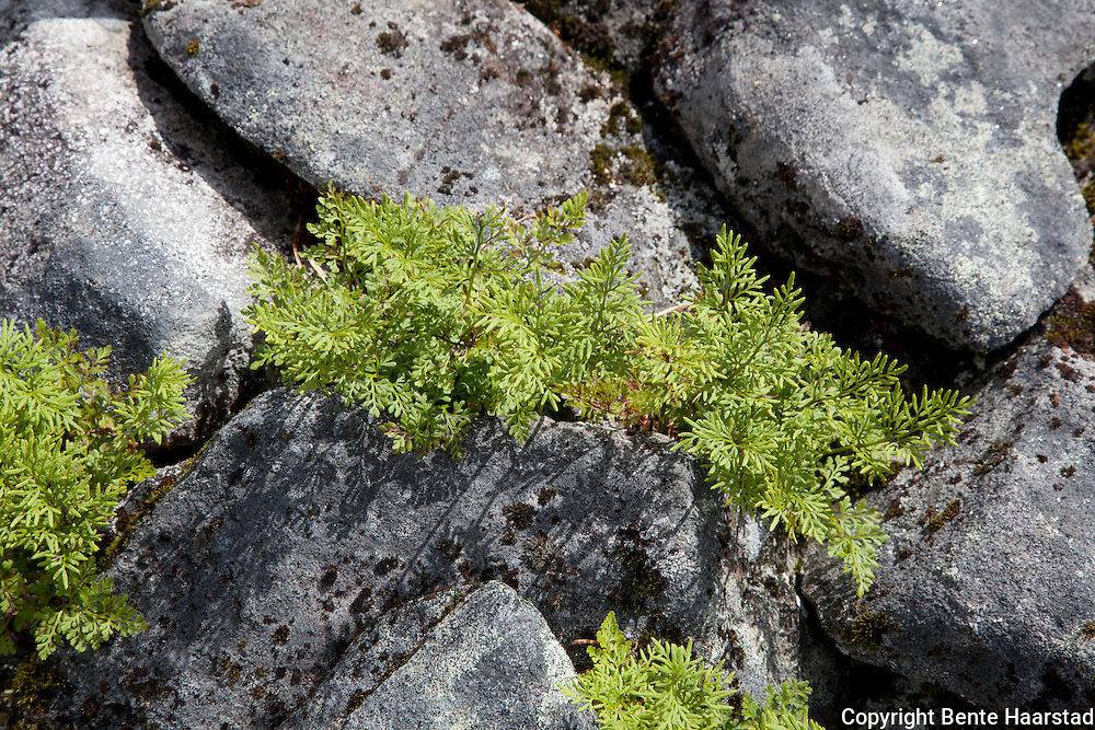 The parsley fern (Cryptogramma crispa), is a species of Arctic-alpine fern. Ramskaret in Tydal. Norwegian: hestespreng.