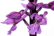 France, Languedoc Roussillon, Gard (30), Cevennes, fleur de Orchis mâle, N.L.: Orchis mascula, (Orchidacées)