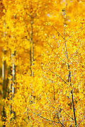 """SHOT 9/23/14 3:28:43 PM - Aspen trees changing color near Rollinsville, Co. in the Arapaho National Forest. Aspens are trees of the willow family and comprise a section of the poplar genus, Populus sect. Populus. The Quaking Aspen of North America is known for its leaves turning spectacular tints of red and yellow in the autumn of the year (and usually in the early autumn at the altitudes where it lives). This causes forests of aspen trees to be noted tourist attractions for viewing them in the fall. These aspens are found as far south as the San Bernardino Mountains of Southern California, though they are most famous for growing in Colorado. Autumn leaf color is a phenomenon that affects the normally green leaves of many deciduous trees and shrubs by which they take on, during a few weeks in the autumn months, one or many colors that range from red to yellow. The phenomenon is commonly called fall colors and autumn colors, while the expression fall foliage usually connotes the viewing of a tree or forest whose leaves have undergone the change. In some areas in the United States """"leaf peeping"""" tourism between the beginning of color changes and the onset of leaf fall, or scheduled in hope of coinciding with that period, is a major contribution to economic activity. (Photo by Marc Piscotty / © 2014)"""