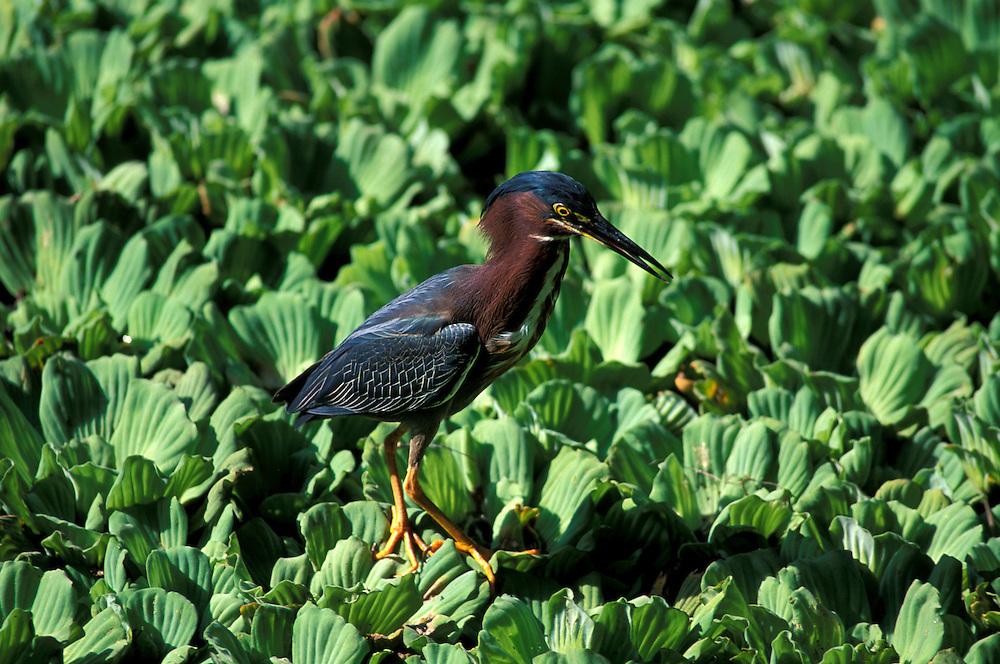Green Heron (Butorides virescens) at Corkscrew Swamp Sanctuary, Florida, USA