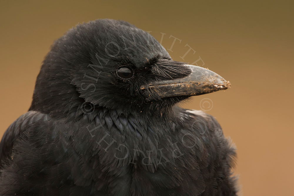 Carrion Crow (Corvus corone) adult, close up of head, Norfolk, UK.