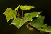 Water droplets collect on leaves near Lake Quinault. (Erika Schultz / The Seattle Times)